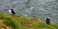 042_237_Puffins_resize